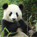 Giant Panda Breeding Research Center