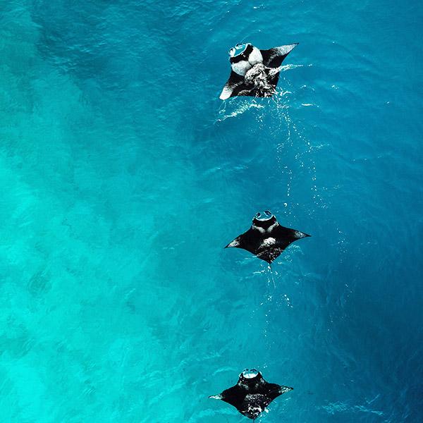 Snorkel With Manta Rays